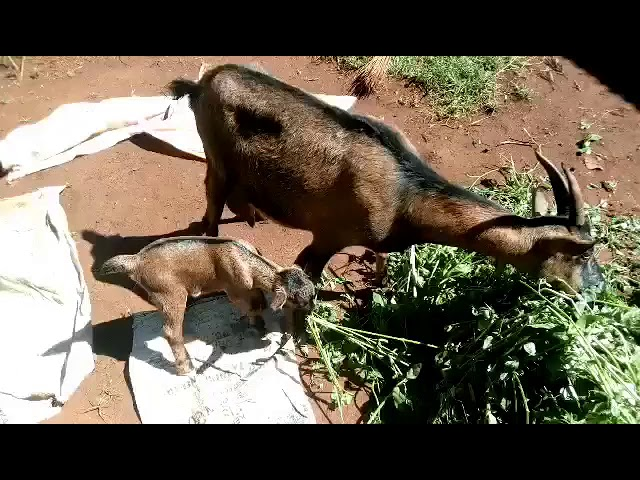 1st Goat Born on Mission Field in Moi's Bridge Kenya With Mama
