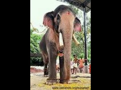 THECHIKOTTUKAVU RAMACHANDRAN WITH RAISED HEAD  / STAR ELEPHANT/TALLEST&BIGGEST ELEPHANT IN ASIA