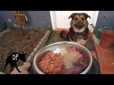 Pitbull mix eating Biologically Appropriate Raw Food