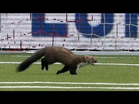 Wild Animal Runs Onto Soccer Field And Bites Two Players 10/03/2013