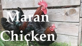 Remastered Chicken Breed Analysis: The Marans