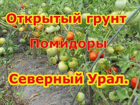 Открытый грунт  Северный Урал  Помидоры