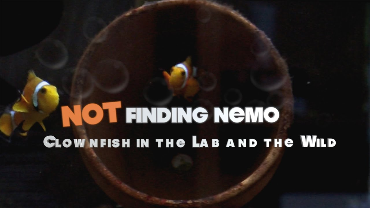 A screenshot from Not Finding Nemo: Clownfish in the Lab and the Wild