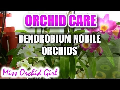 Orchid care - How to care for Dendrobium Nobile Orchids - watering, fertilizing, reblooming
