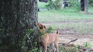 Ard Creek Molly - Pup Treeing Squirrel | Benson's Kennel