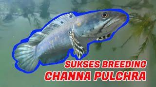 Channa Pulchra Breeding Herunterladen