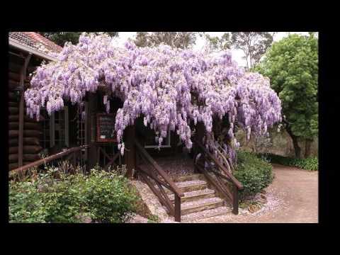 Мечта садоводов - восхитительная глициния