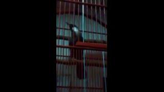 Burung Poksay (Garrulax Leucolophus 14)