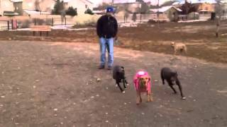 Vizsla And German Short Haired Pointer At Dog Park