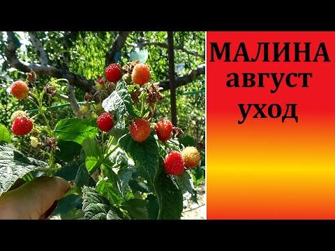 Вопрос: Какой будет урожай малины в Подмосковье в 2020 г. Какие есть приметы?