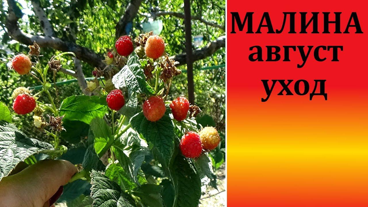 Ремонтантная малина в августе Эта подкормка обеспечит хороший урожай  малины