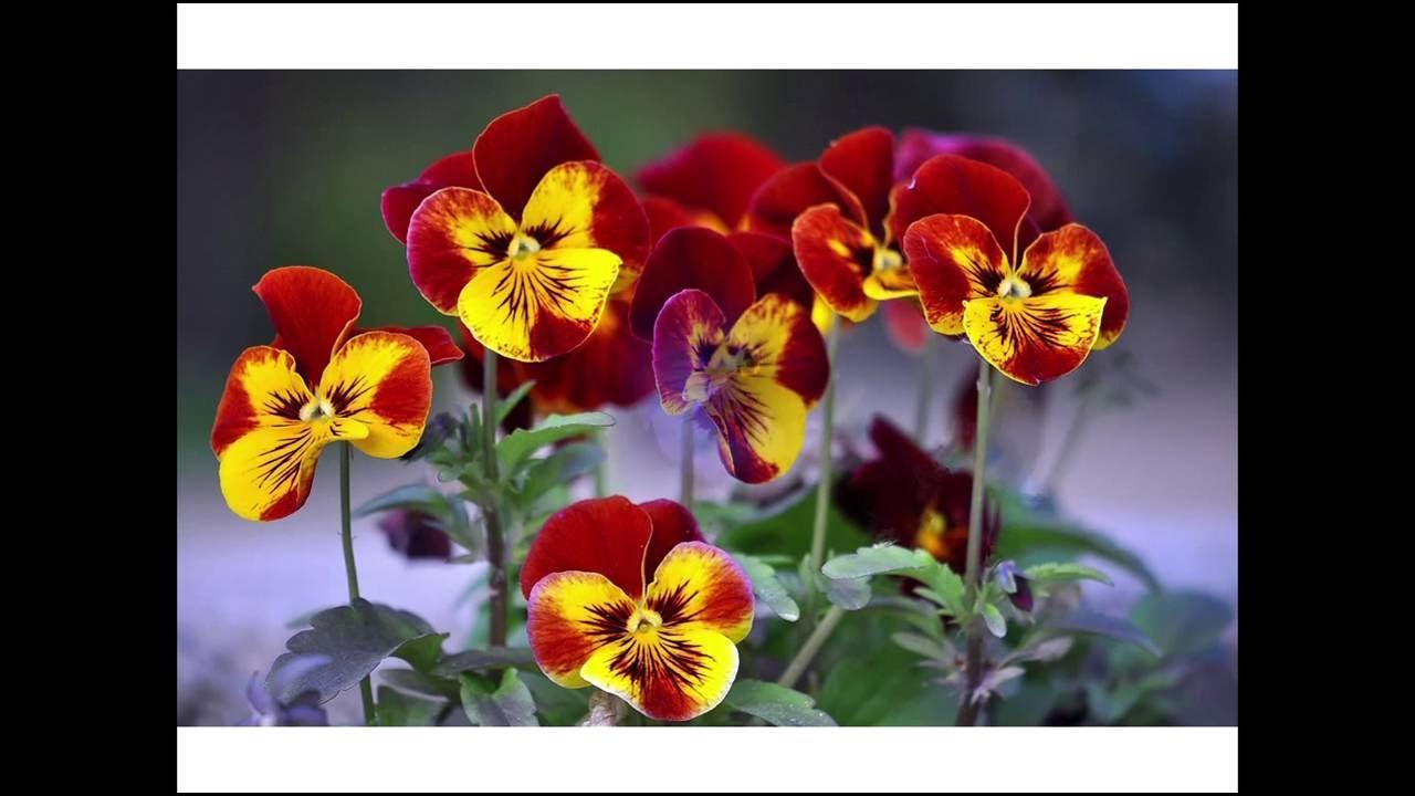 Цветы анютины глазки - YouTube