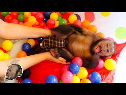 Capuchin Monkey Ball Pit FUN!