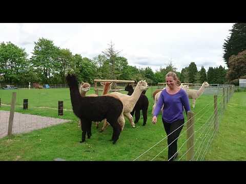 2017.05.18 Alpaca shearing time, Toft Alpaca Stud, Dunchurch, Rugby, UK - 02