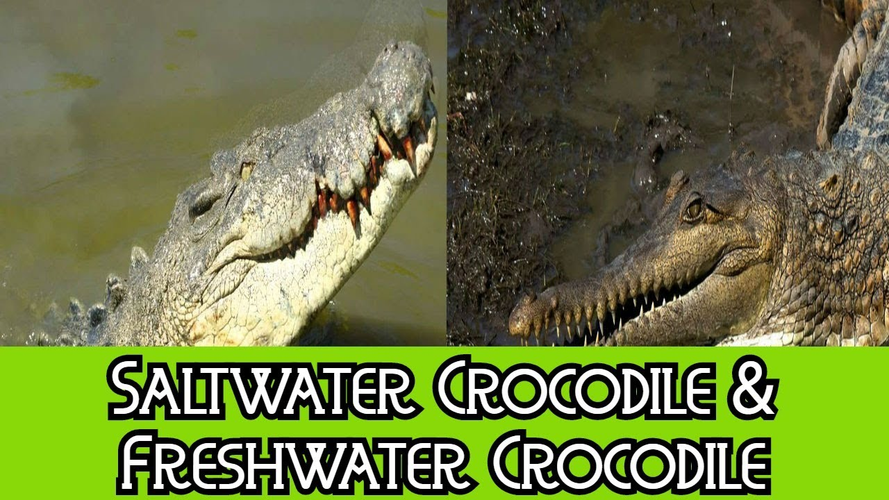 Saltwater Crocodile & Freshwater Crocodile - The ...
