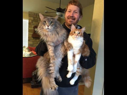 Samson and Floki: Maine Coons Get Acquainted