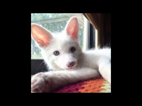 Thinking of getting a pet fox?