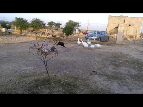 Big Size Ducks 03459442750 Zain Ali Farming In Pakistan