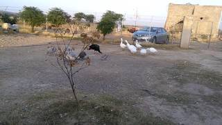 Big size ducks 03459442750 Zain Ali Farming in Pakistan