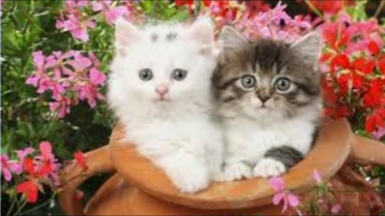 صوت قطة صغيرة جميلة صوت القطة صوت قطة صوت القطط اكثر تاثيرا فى الاطفال Youtube