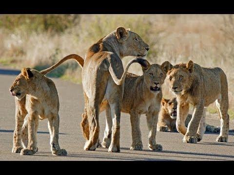 Safari in Kruger National Park - Mpumalanga South Africa