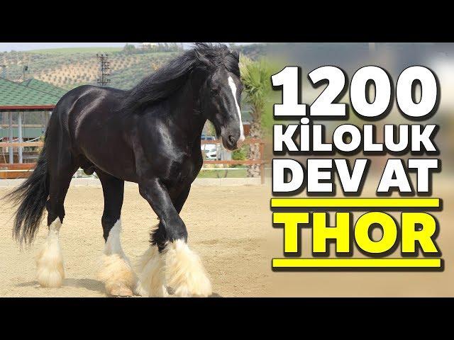 """Hatay'da 1200 Kiloluk At """"Thor"""" Görenleri Şaşırtıyor"""
