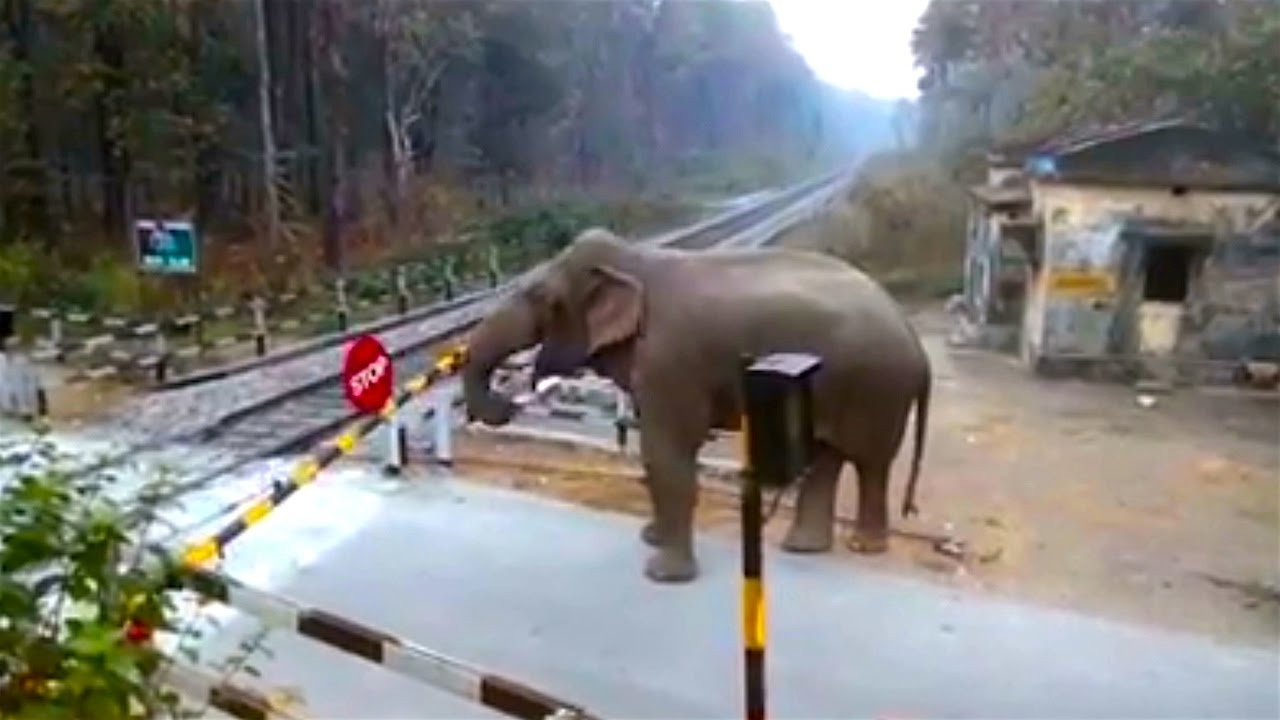Cheeky Elephant Crosses Railway Track