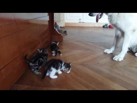 Berger blanc suisse adore les chatons de Clara