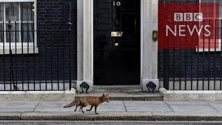 【BBC】 英総選挙が開始、ダウニング街にはキツネ