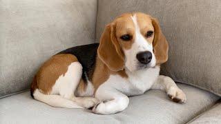 Cute beagle inspects his new sofa