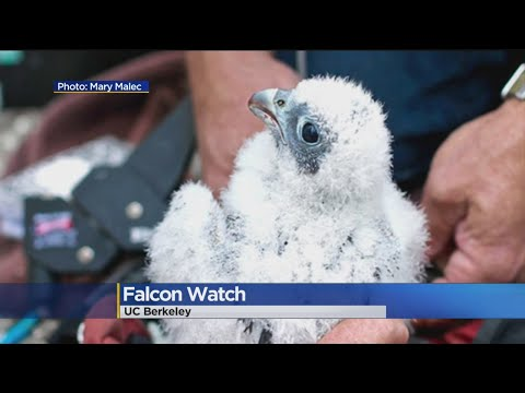 Baby Peregrine Falcon At UC Berkeley Takes First Flight