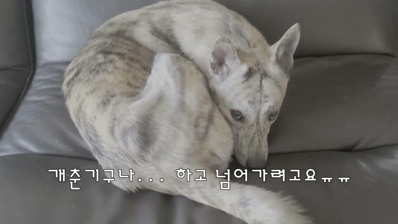 빈려견 강아지 잠자리 분리 에 매일아침 반응. 점점 이상해져...