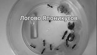Логово Японикусов. Messor structor and Camponotus japonicus