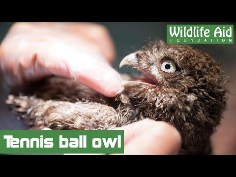 Little owl freed from tennis netting