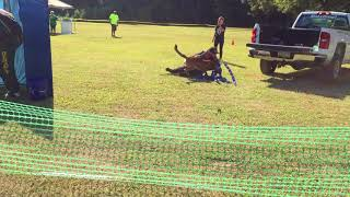 Arkansas PSA Club Trial Sept 2017 Top Dog K9 - PSA 1 Attack on Handler