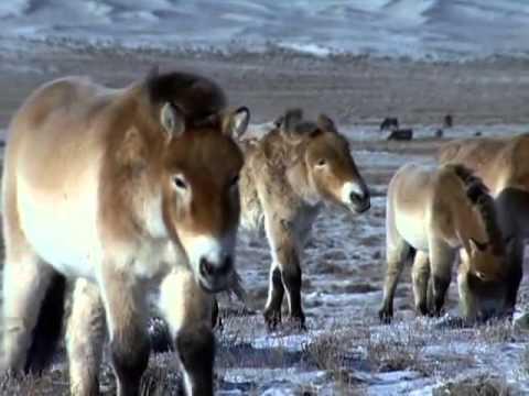 Documentary Discovery -   Wild Horses Return to China
