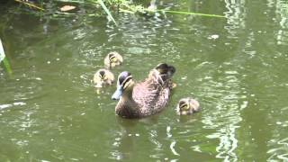 canon sx50 video   baby ducks swimming lessons(, 2013-12-18T20:04:38.000Z)
