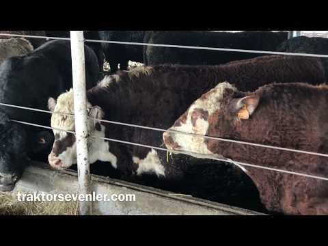 Yurt dışından ithal besi hayvanı getiren çiftlik sahibi anlatıyor