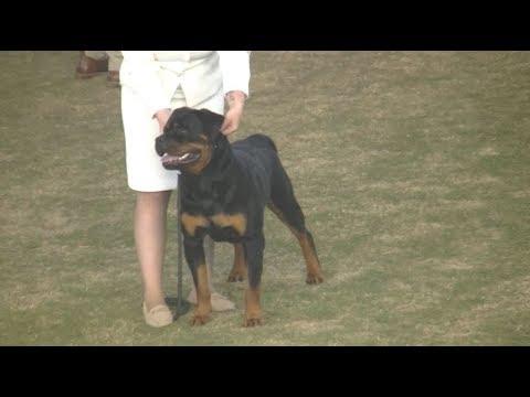 Rottweiler  Sydney Royal Dog Show 2019