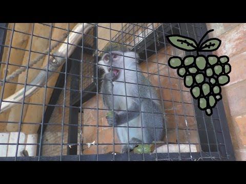 Зооград: Обезьяна и виноград