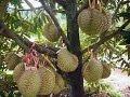 - Cara Menanam Durian Agar Cepat Berbuah