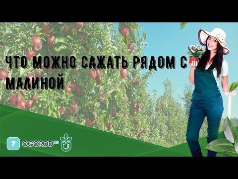Вопрос: После каких культур нельзя сажать малину и почему?