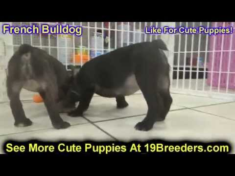 French Bulldog, Puppies, For, Sale, in, Mobile, County, Alabama, AL, Huntsville, Morgan, Calhoun, Et