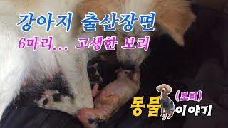 강아지 출산장면 (보리)