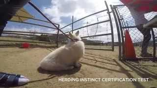 Winston's Sheep Herding Test