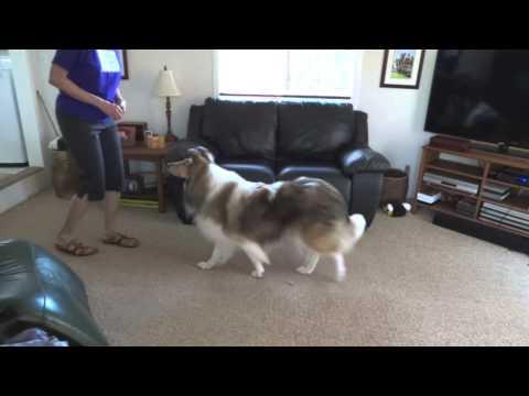Teach Your Dog to Walk Backward, Go Back, Collie, Dog Tricks