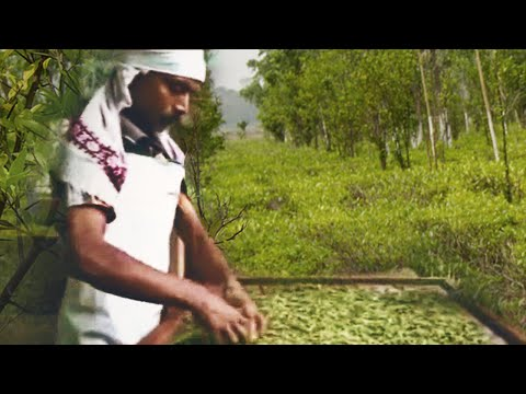 Organic Tea Processing by Prithivi, Assam