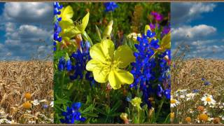 Meadow (field) flowers-Луговые (полевые) цветы-part1