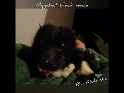 Rescued | Megabat black male eating banana Flyingfox Fruit bat