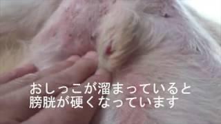 DMで老犬のコナン爺さん、寝たきりで排尿がスムースに出来ません 膀胱...